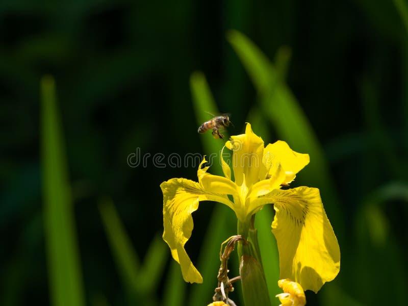 Hardworking bee flies to yellow iris flower full of nectar stock image