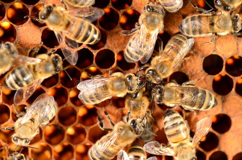 Hardworking bees on honeycomb. In apiary stock images