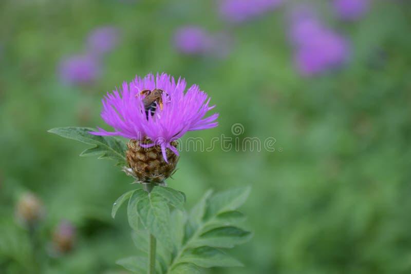 Hardworking bij verzamelt nectar van een bloem stock foto's