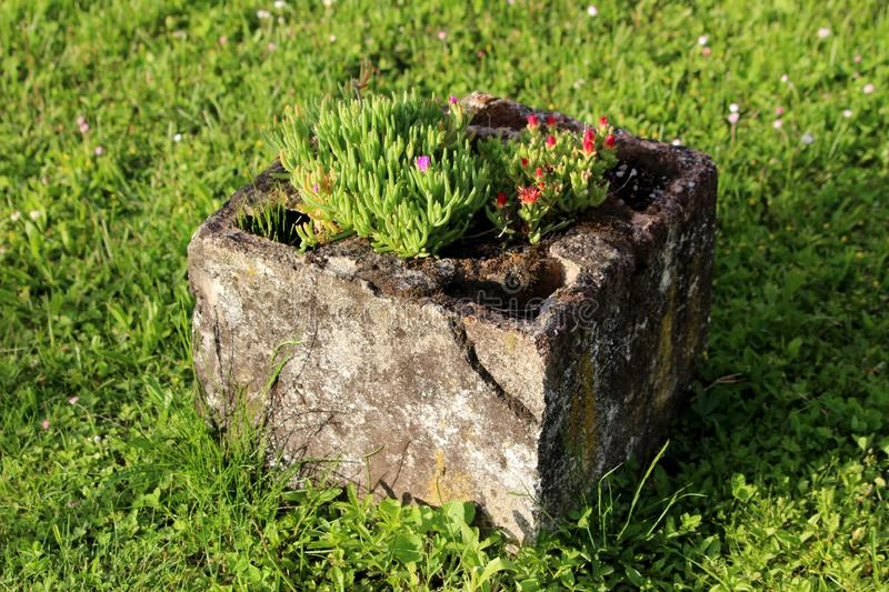 Hardy iceplant or Delosperma cooperi dwarf perennial plant with dark red and magenta flowers planted in old dilapidated stone. Hardy iceplant or Delosperma stock images