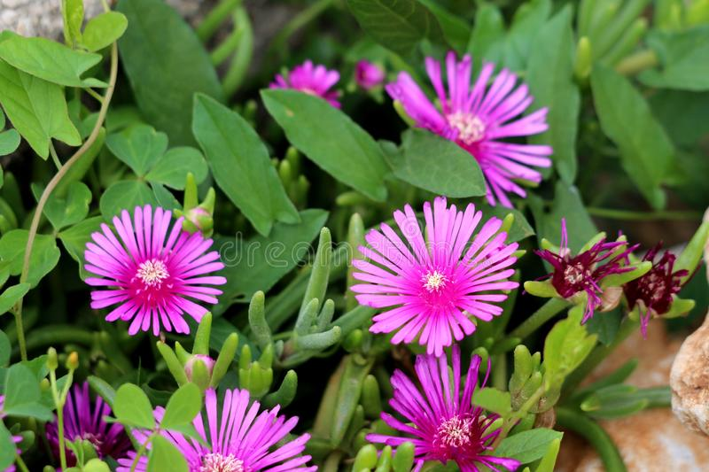 Hardy iceplant or Delosperma cooperi dwarf perennial plant with fully open blooming magenta flowers surrounded with dark green. Hardy iceplant or Delosperma royalty free stock images