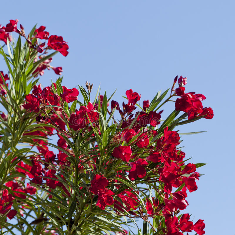 Download Arizona's Hardy Red Oleander Stock Photo - Image: 24890306