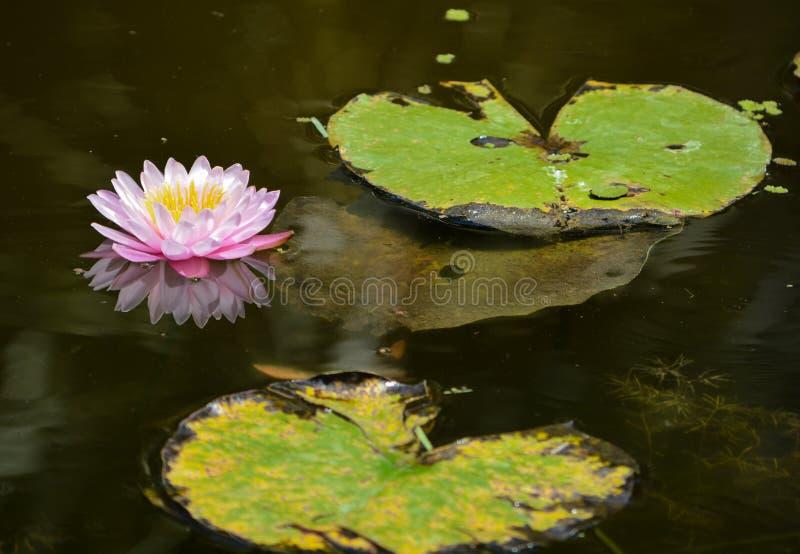 Hardy Water Lilies at Mckee Botanical Garden, Indian River County, Florida USA.  stock image