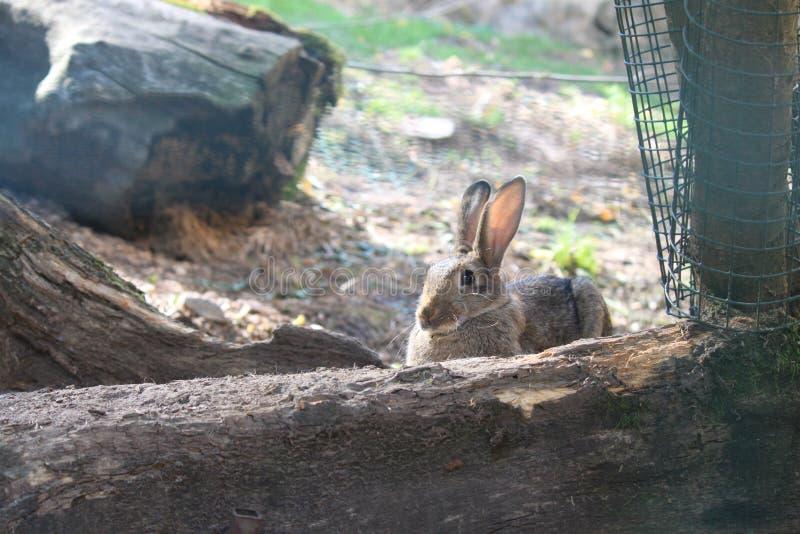 Hare royalty free stock photos