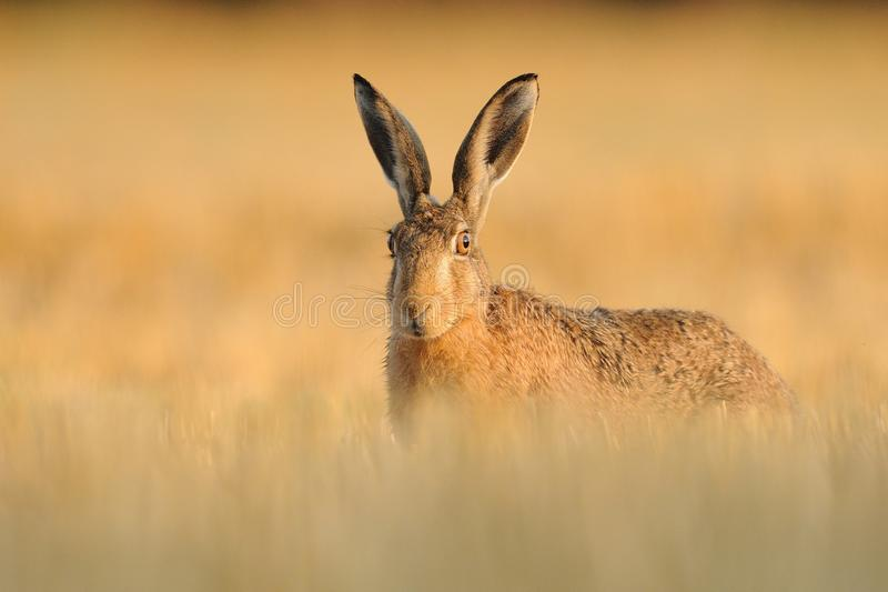 Hare in the Cornfield. This hare is sitting in a cornfield stock photography