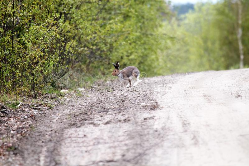 Hare on a country road in the evening hours. Hare on a country road in spring in evening hours of feeding and mating activity (rut of hares), Arctic hare (Lepus royalty free stock images