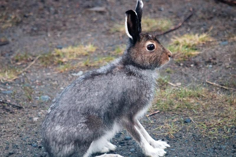 Hare on a country road in the evening hours. Hare on a country road in spring in evening hours of feeding and mating activity (rut of hares), Arctic hare (Lepus royalty free stock photo