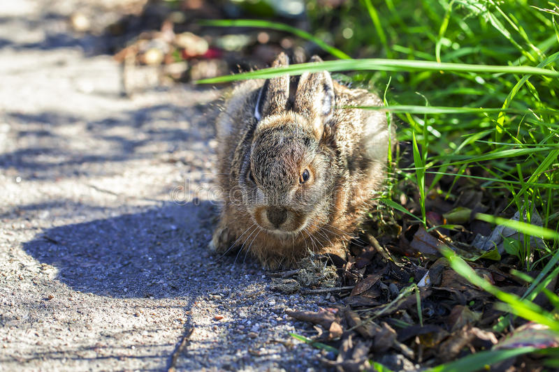 Hare - cowering. Hare - young animal cowering on the roadside - detail shot royalty free stock images