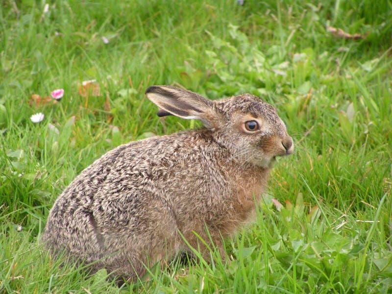 Download Hare dziecka zdjęcie stock. Obraz złożonej z jackrabbit - 125632