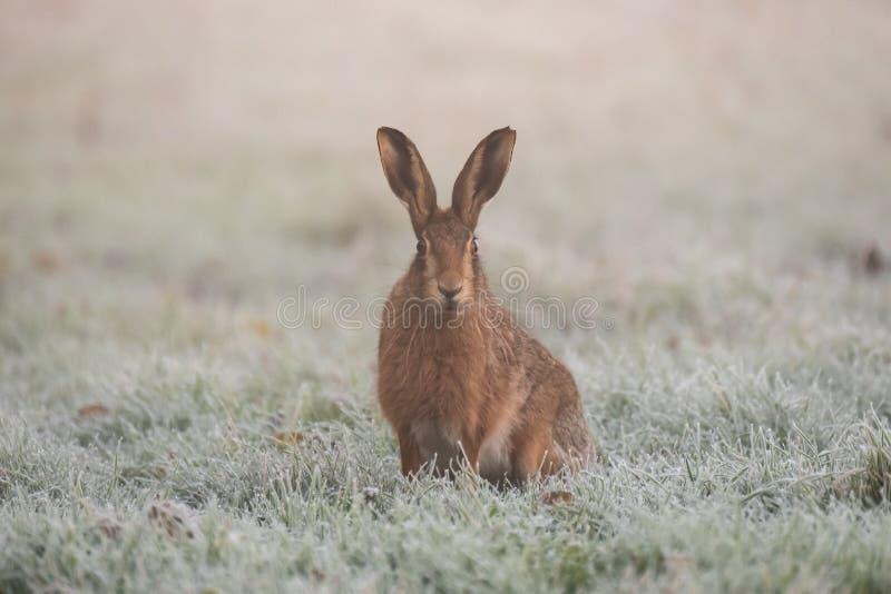 Hare in field in Suffolk zdjęcie stock