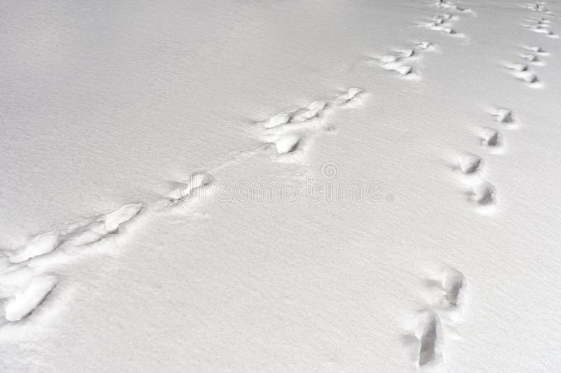 Hare foot tracks in snow forest. winter background. copy-space royalty free stock images