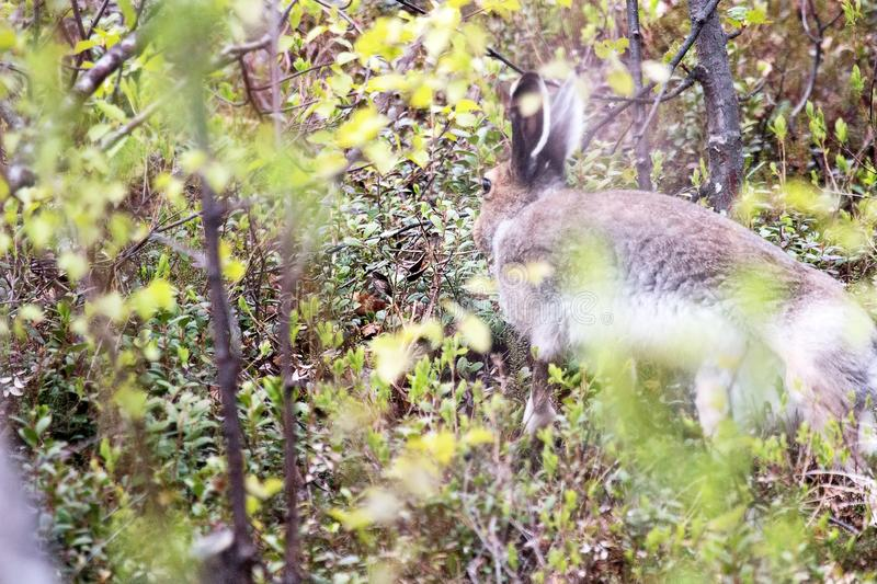 Hare hid in the bushes and slowly ran away. Arctic hare (Lepus timidus stock photo