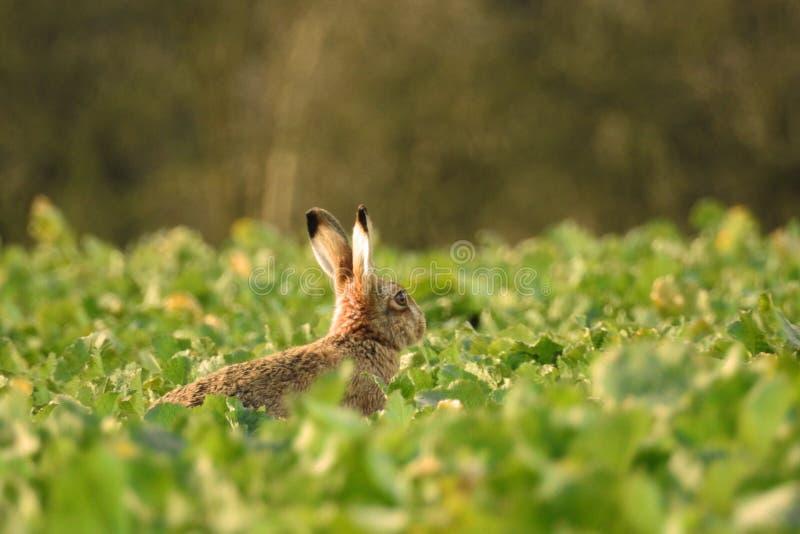 Hare i ett skördfält arkivbild
