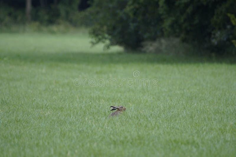 Hare i fält royaltyfria foton