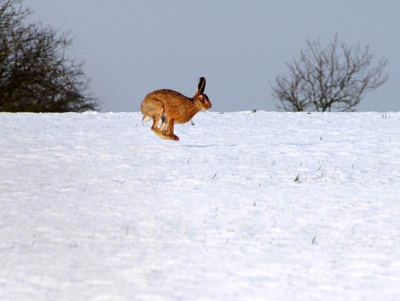 Hare i luften på snö royaltyfri foto