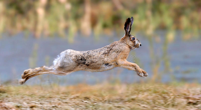 Hare. Jumping on meadow on background blurred