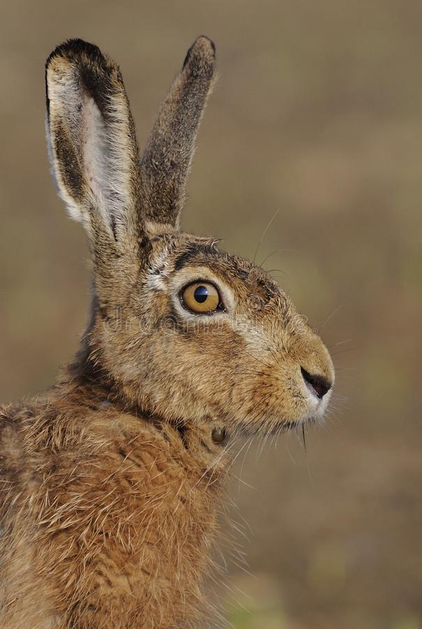 Hare ( Lepus europaeus ). This hare i can shoot on a beautiful sunday morning with blue sky and very nice temperature. You can see the sunrise and blue sky in stock photos