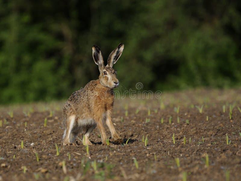 Hare ( Lepus europaeus ) stock photography