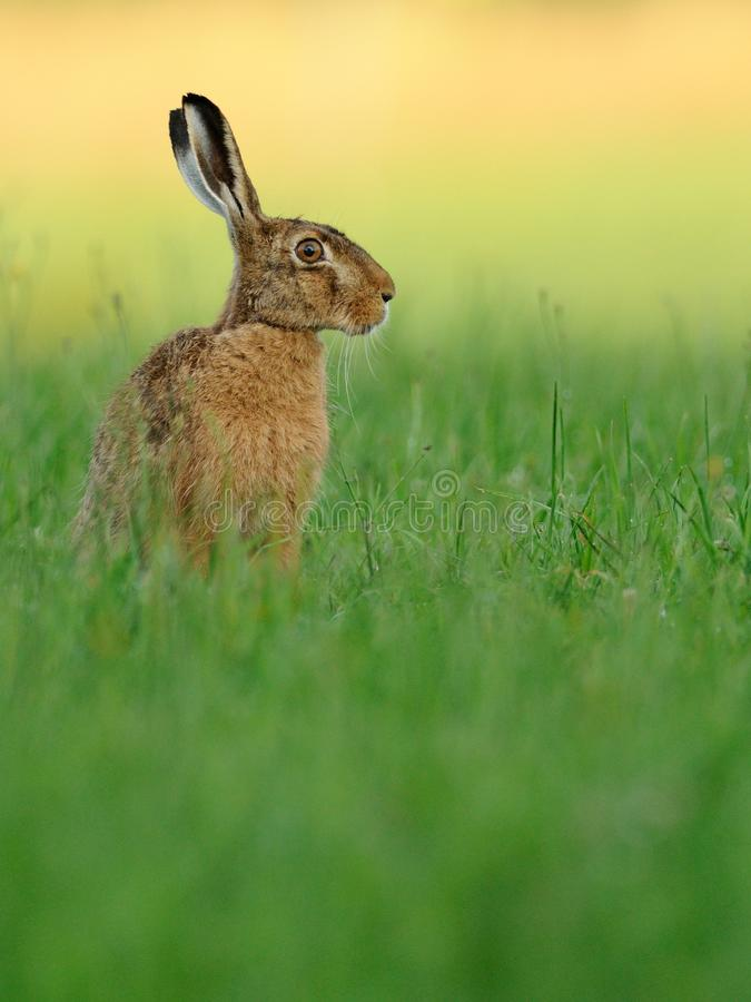 Hare ( Lepus europaeus ). This hare i can shoot in the very early morning with the first sunlight stock photography
