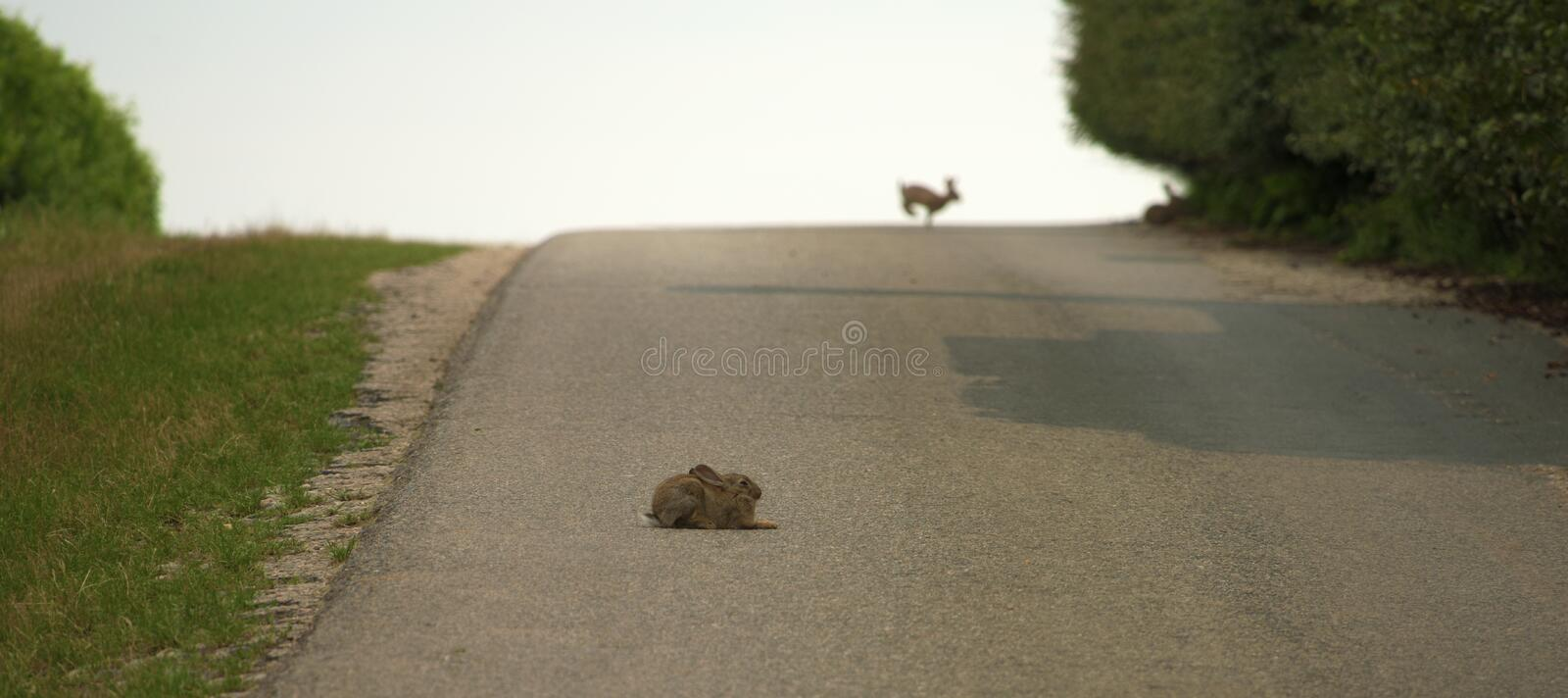 Hare lying on asphalt road royalty free stock photos