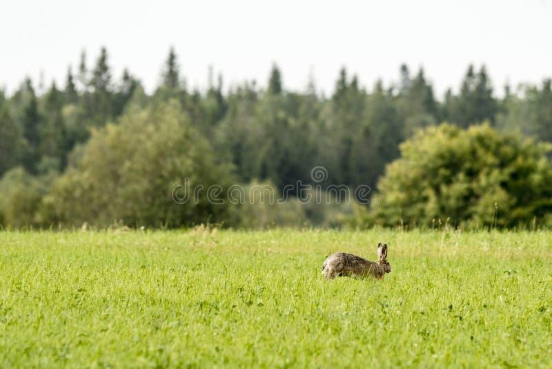 Hare på en grön äng på våren arkivfoton