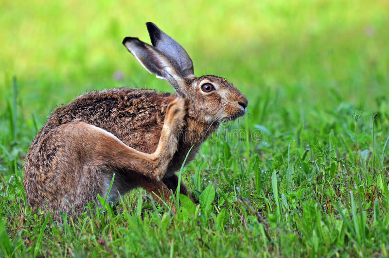 Download Hare stock photo. Image of rabbit, lepus, scratching - 39503970