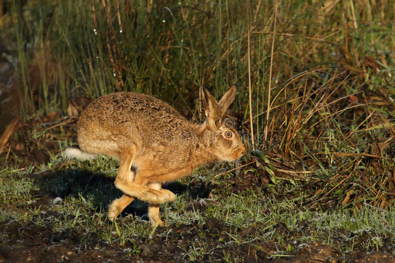 Hare on the Run. stock photos