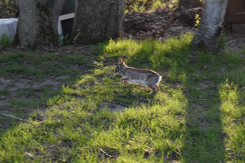 A hare running royalty free stock images