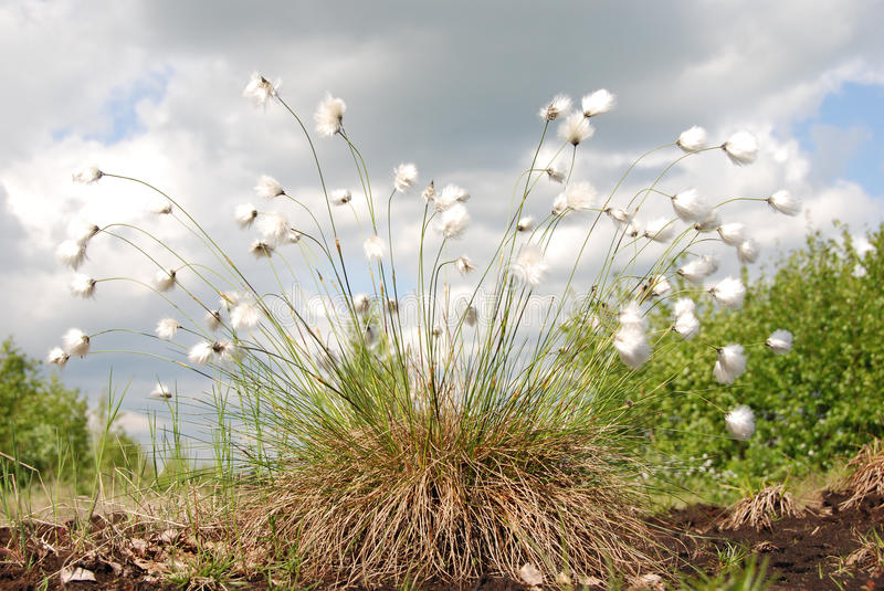 Hares-tail Cottongrass. Turf in bog stock images