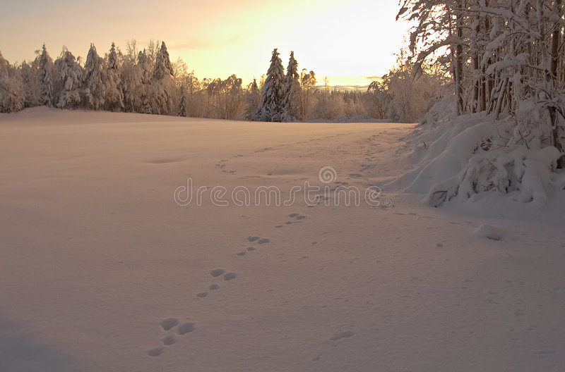 Hare's traces royalty free stock image
