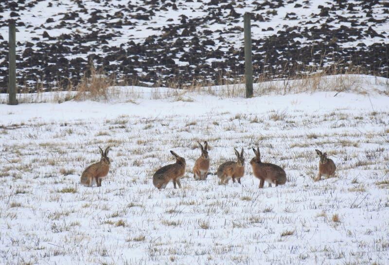 Harefamilj i snön royaltyfri bild