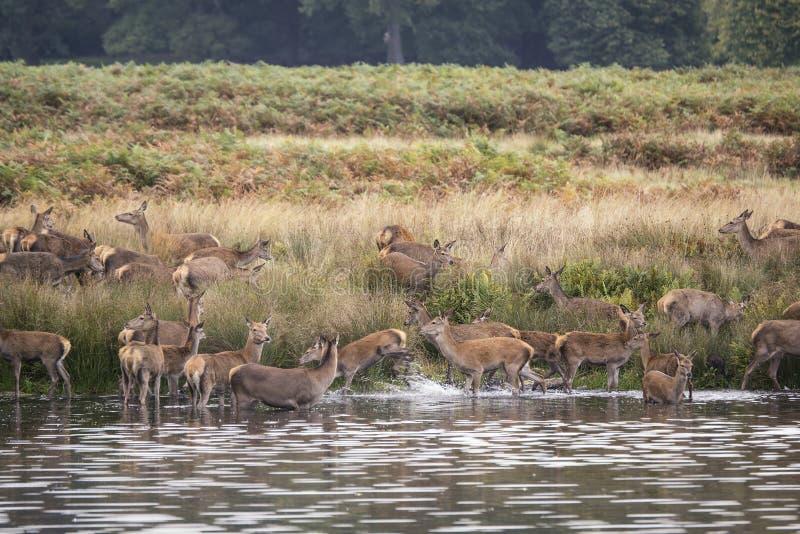 Harem de cerfs communs rouges pendant l'ornière d'automne étant obligatoire dans le lac par le mâle photo libre de droits