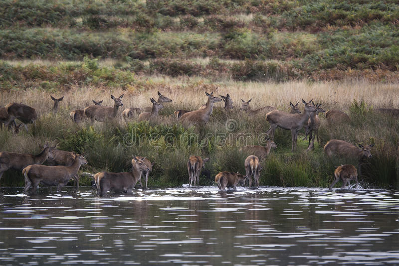 Harem de cerfs communs rouges pendant l'ornière d'automne étant obligatoire dans le lac par le mâle photos stock