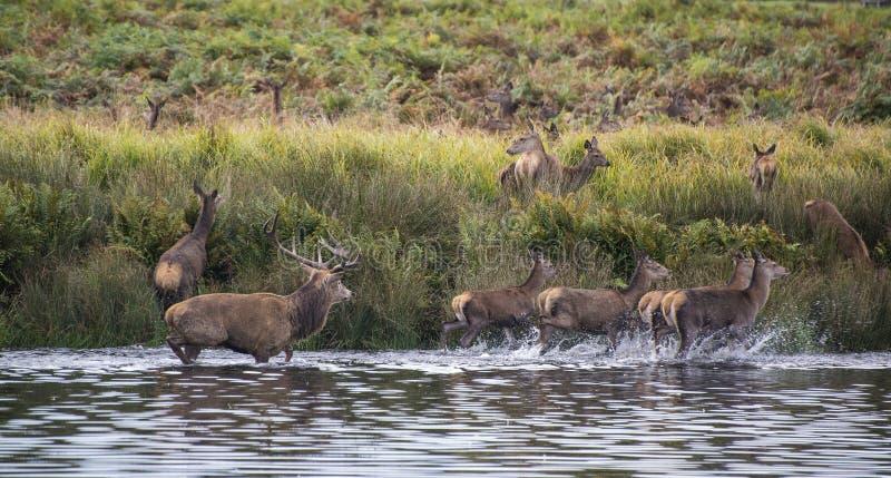 Harem de cerfs communs rouges pendant l'ornière d'automne étant obligatoire dans le lac par le mâle images stock