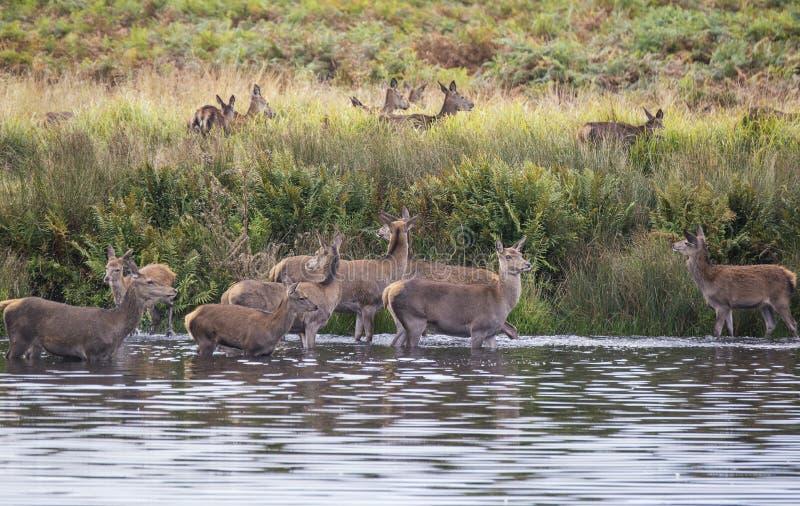 Harem de cerfs communs rouges pendant l'ornière d'automne étant obligatoire dans le lac par le mâle photographie stock