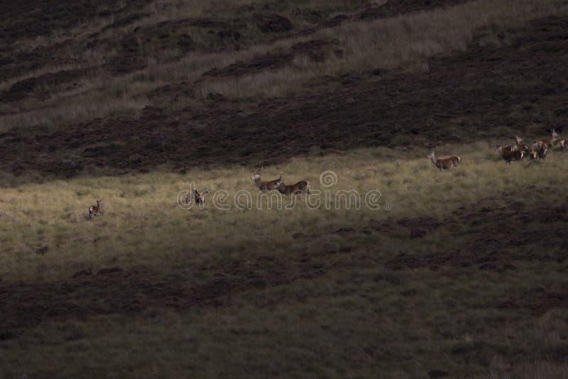 Harem dei cervi nobili durante il calore fotografia stock