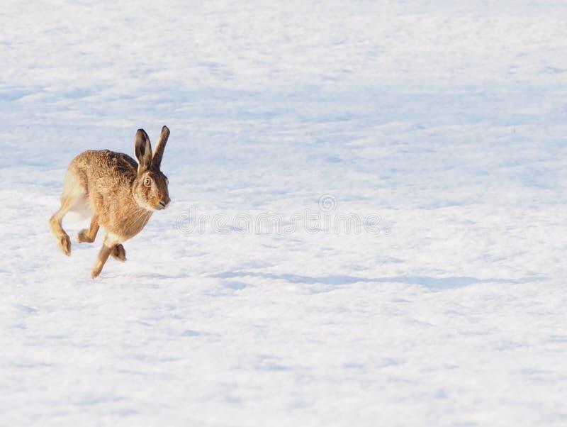 Harespring in mot kameran royaltyfria bilder