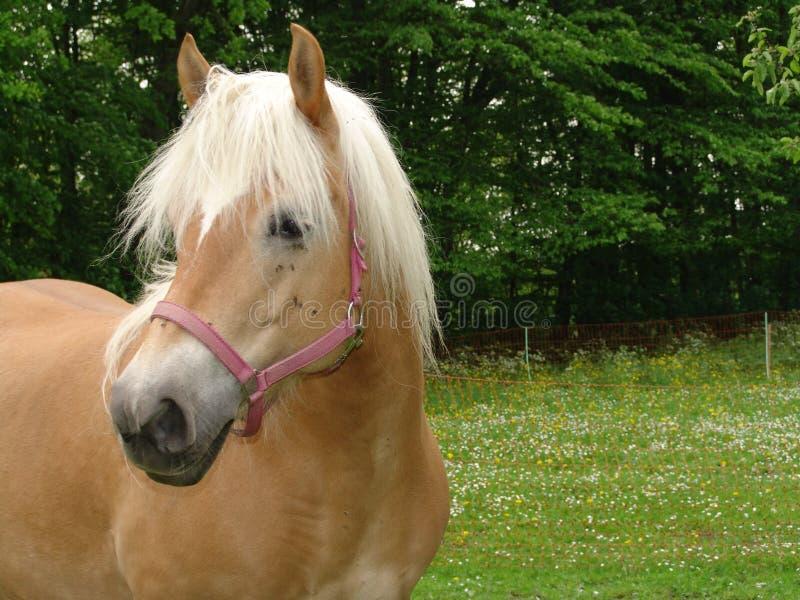 Harflinger Horses stock images