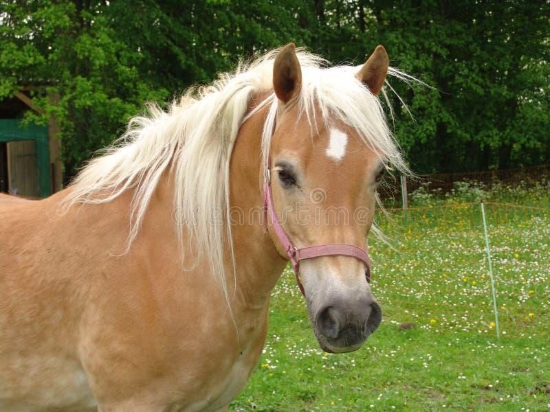 Harflinger Horses royalty free stock photos
