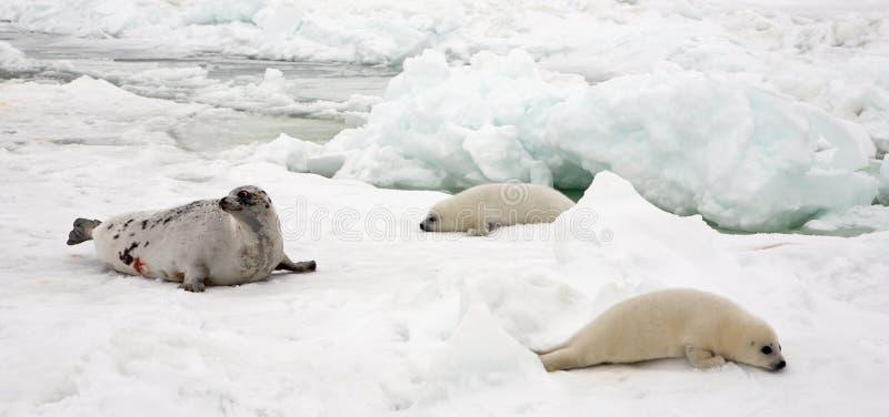 Harfy foki krowa i nowonarodzone ciucie na lodzie zdjęcie stock