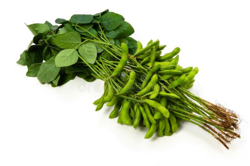Haricot vert de soja photo libre de droits