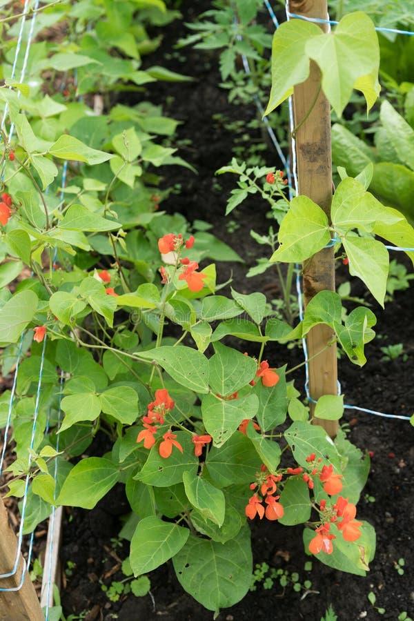 Haricots d'Espagne d'écarlate s'élevant dans le jardin avec les enjeux en bois a photos libres de droits