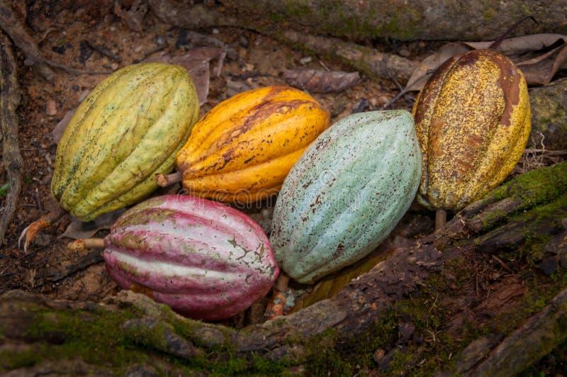 Haricots de cacao image libre de droits
