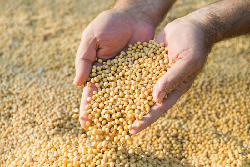 Haricots de soja après récolte images stock