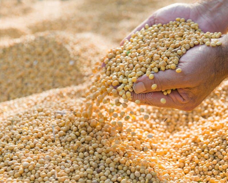 Haricots de soja après récolte photographie stock libre de droits