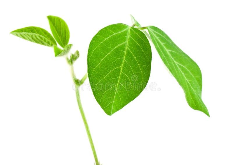 Haricots frais de soja image stock
