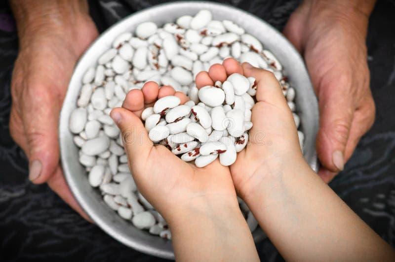 Haricots nains Haricots nains blancs avec les taches rouges dans les mains de la grand-mère et de la petite fille, dans les mains image stock