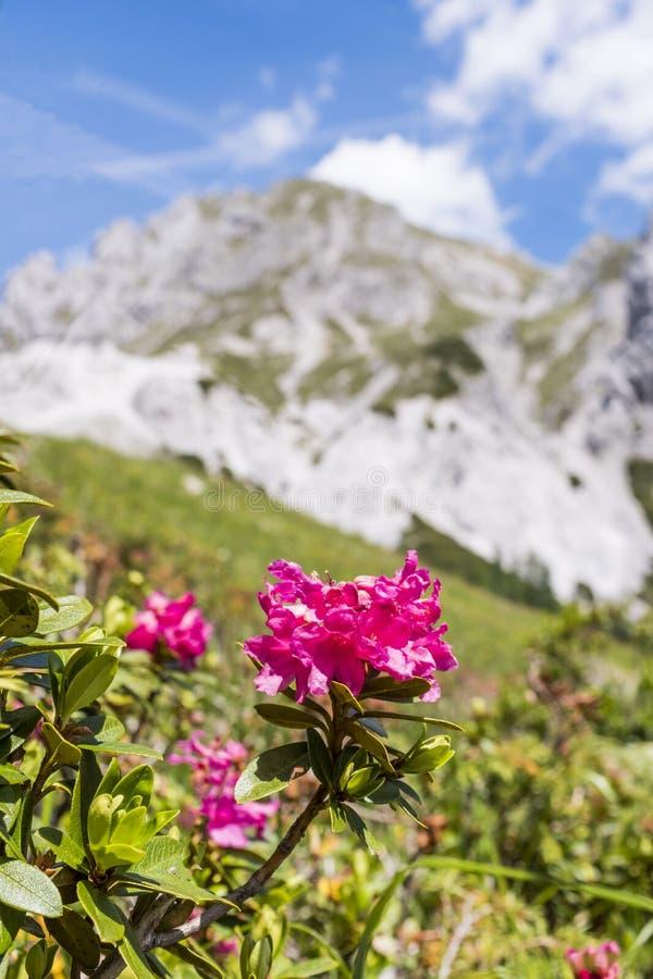 Harige Alpenrose-berg op Achtergrond in de Alpen in Oostenrijk royalty-vrije stock afbeelding