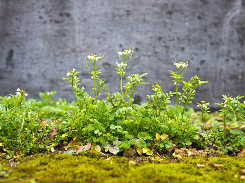 Harige bittercress, invasief jaarlijks tuinonkruid stock foto's