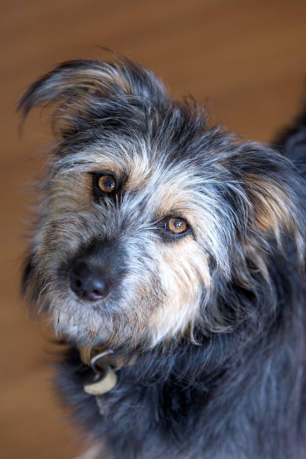 Harige hond die camera bekijkt royalty-vrije stock foto's